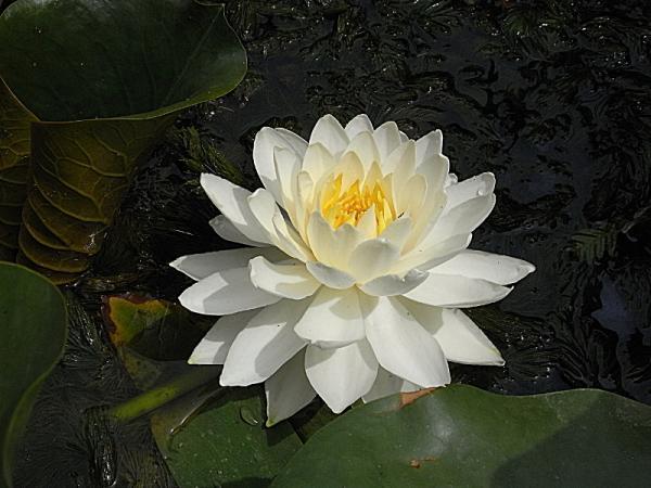 pomper recherche idée Lysiane:plantes_du_jardin:aquatique:r0019656