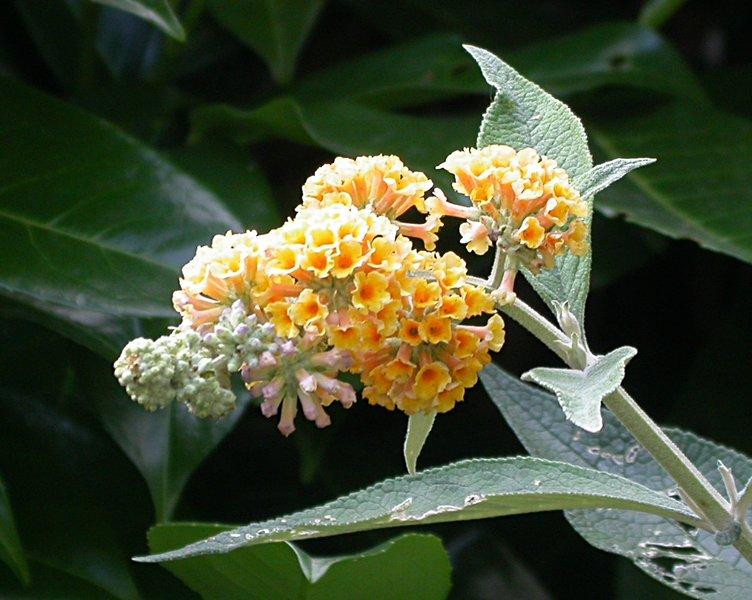 jardin des `MAL`AKHIM  Lysiane:plantes_du_jardin:arbres_arbustes:buddleias_w_sungold_2089
