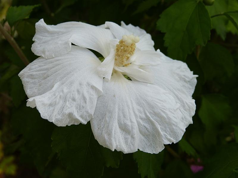 jardin des `MAL`AKHIM  Lysiane:plantes_du_jardin:arbres_arbustes:p1030413r