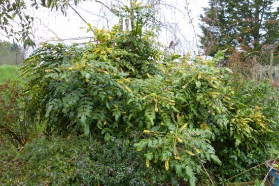 jardin des `MAL`AKHIM  - Page 6 Lysiane:plantes_du_jardin:arbres_arbustes:p1170550