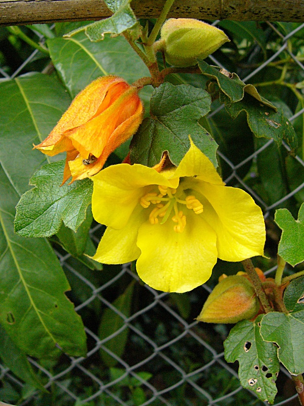 jardin des `MAL`AKHIM  Lysiane:plantes_du_jardin:arbres_arbustes:p1180177