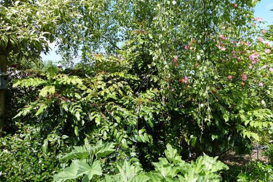 jardin des `MAL`AKHIM  - Page 6 Lysiane:plantes_du_jardin:arbres_arbustes:p1180883