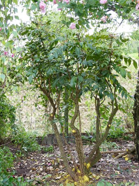 jardin des `MAL`AKHIM  - Page 6 Lysiane:plantes_du_jardin:arbres_arbustes:p1180891