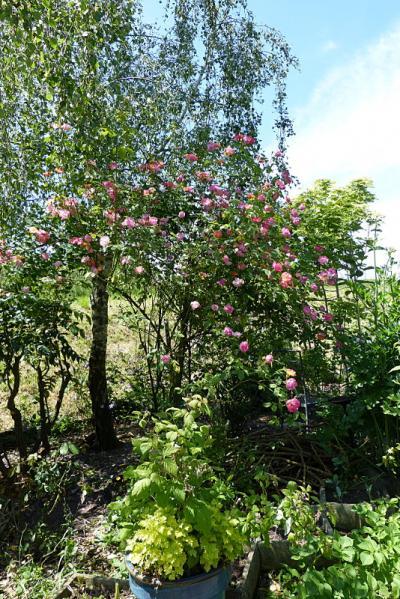 jardin des `MAL`AKHIM  - Page 6 Lysiane:plantes_du_jardin:arbres_arbustes:p1180899