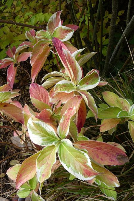 jardin des `MAL`AKHIM  - Page 6 Lysiane:plantes_du_jardin:arbres_arbustes:p1210067