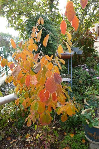 jardin des `MAL`AKHIM  - Page 7 Lysiane:plantes_du_jardin:arbres_arbustes:p1230851