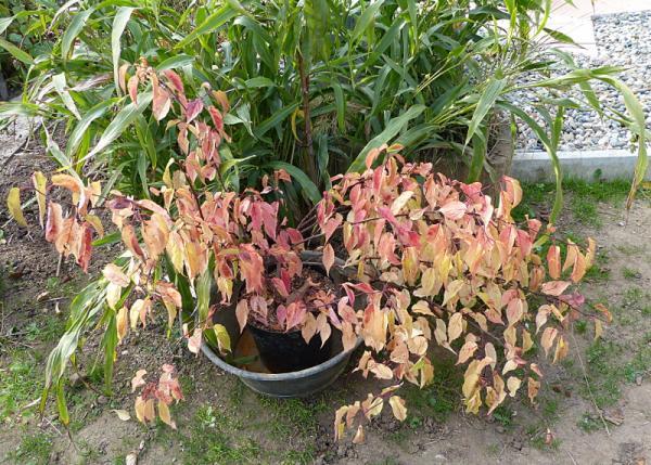 jardin des `MAL`AKHIM  - Page 7 Lysiane:plantes_du_jardin:arbres_arbustes:p1230914