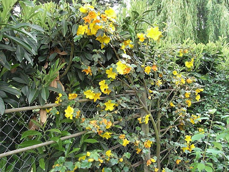 jardin des `MAL`AKHIM  Lysiane:plantes_du_jardin:arbres_arbustes:r0025276r