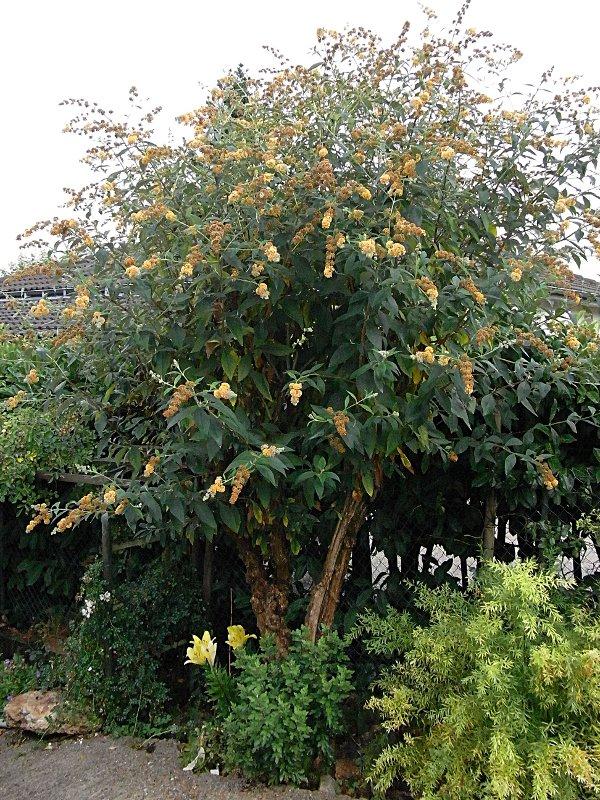 jardin des `MAL`AKHIM  Lysiane:plantes_du_jardin:arbres_arbustes:r0027892r
