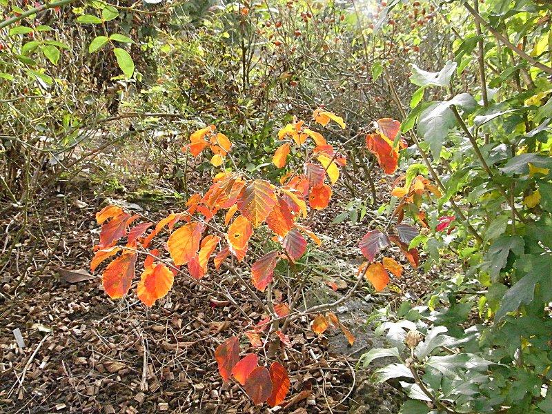 jardin des `MAL`AKHIM  Lysiane:plantes_du_jardin:arbres_arbustes:r0030214r