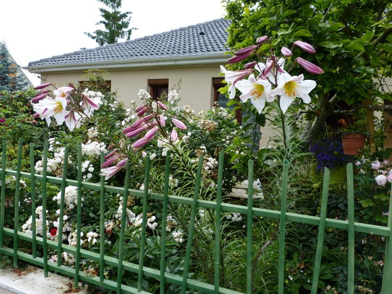 jardin des `MAL`AKHIM  - Page 3 Lysiane:plantes_du_jardin:bulbes_oignons_rhiz:p1070351