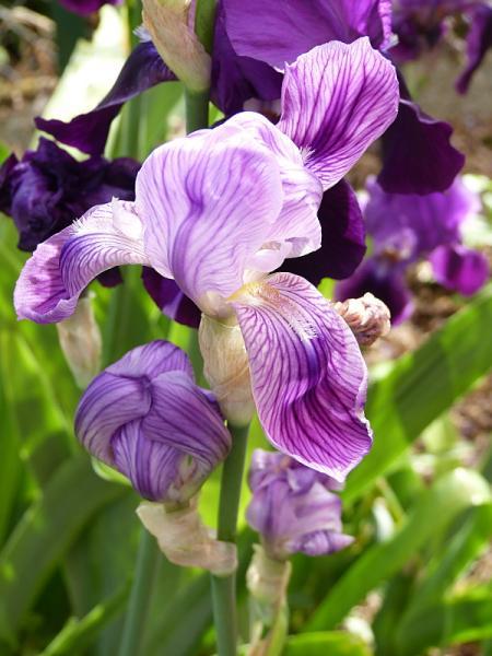 Iris  Lysiane:plantes_du_jardin:bulbes_oignons_rhiz:p1180377