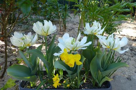 jardin des `MAL`AKHIM  - Page 7 Lysiane:plantes_du_jardin:bulbes_oignons_rhiz:p1240562