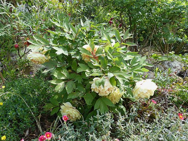 jardin des `MAL`AKHIM  - Page 6 Lysiane:plantes_du_jardin:pivoines:p1110758