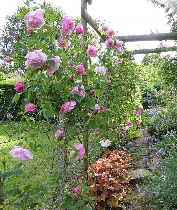 jardin des `MAL`AKHIM  - Page 6 Lysiane:plantes_du_jardin:roses:p1180404