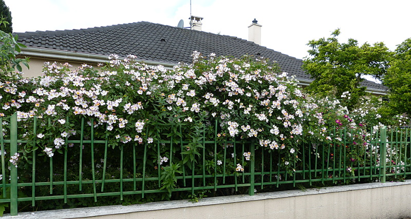 jardin des `MAL`AKHIM  - Page 6 Lysiane:plantes_du_jardin:roses:p1190017