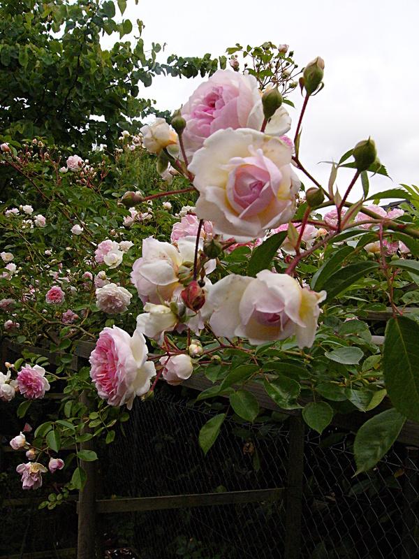 jardin des `MAL`AKHIM  - Page 4 Lysiane:plantes_du_jardin:roses:p1190472