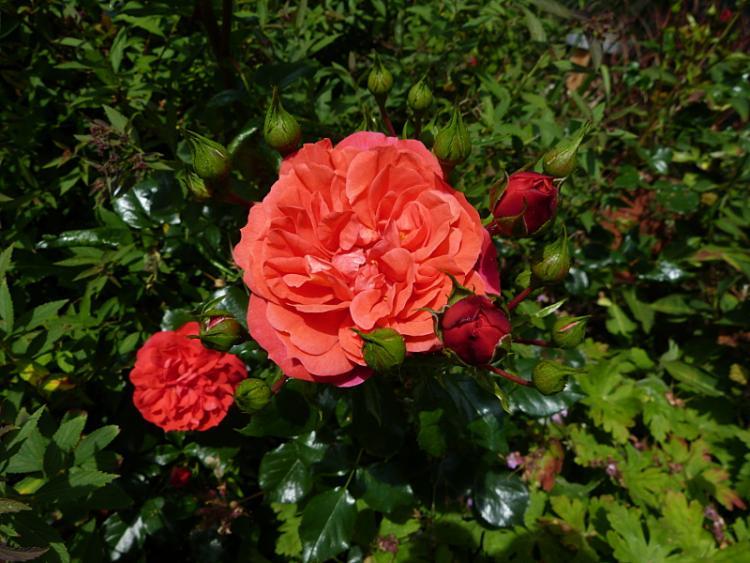 jardin des `MAL`AKHIM  - Page 7 Lysiane:plantes_du_jardin:roses:p1220581