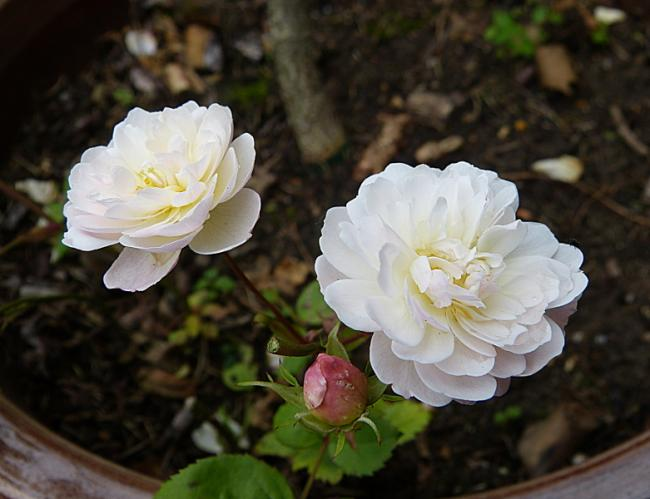 jardin des `MAL`AKHIM  - Page 7 Lysiane:plantes_du_jardin:roses:p1220697