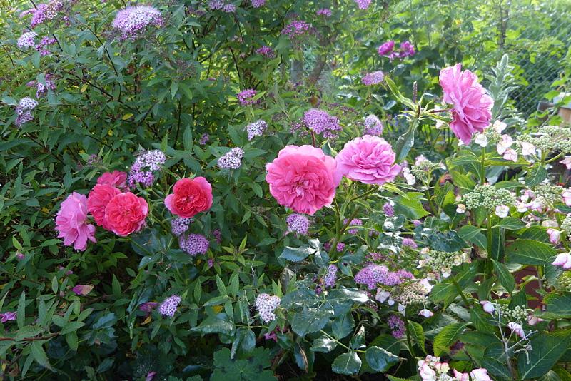 jardin des `MAL`AKHIM  - Page 7 Lysiane:plantes_du_jardin:roses:p1230015