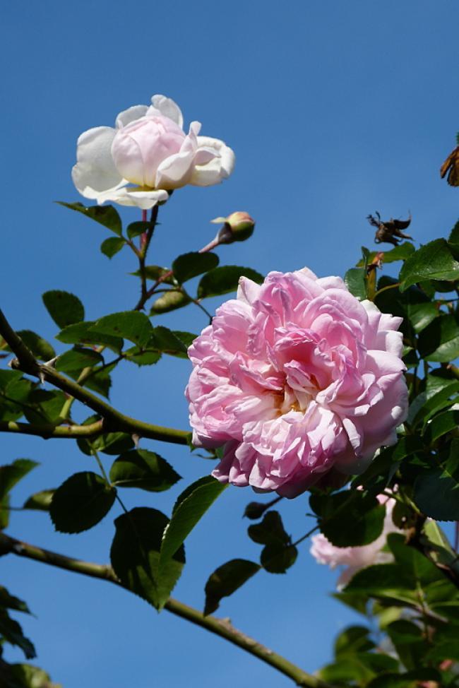 jardin des `MAL`AKHIM  - Page 7 Lysiane:plantes_du_jardin:roses:p1230868