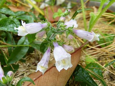nom égaré pour ces 2 plantes  Lysiane:plantes_du_jardin:vivaces:p1280960