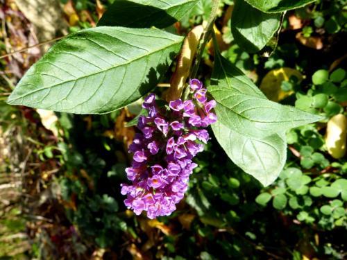 nom égaré pour ces 2 plantes  Lysiane:plantes_du_jardin:vivaces:p1310926