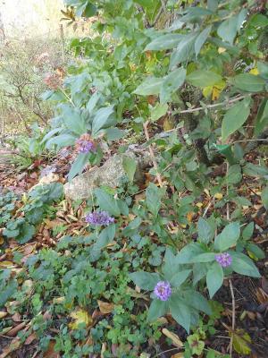 nom égaré pour ces 2 plantes  Lysiane:plantes_du_jardin:vivaces:p1310938