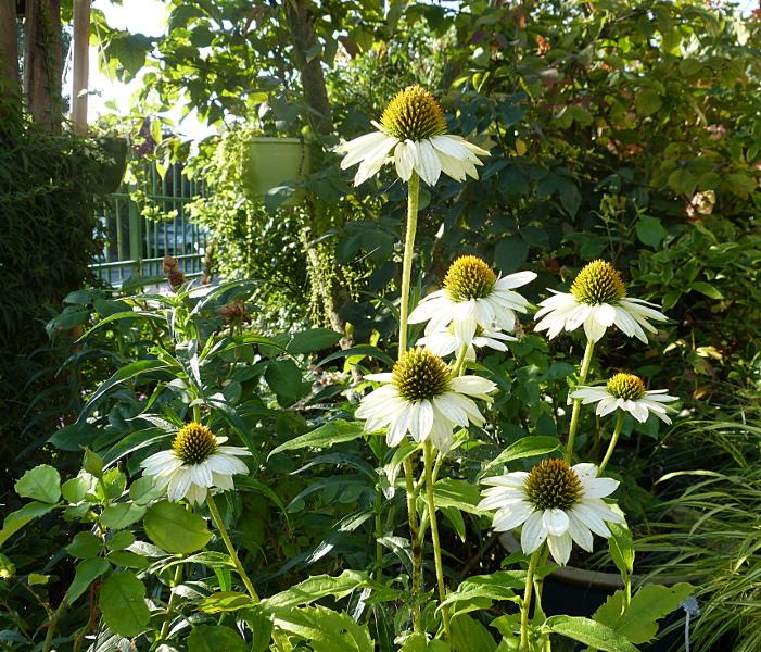 jardin des `MAL`AKHIM  - Page 4 Lysiane:visite_du_jardin:2014:p1150242