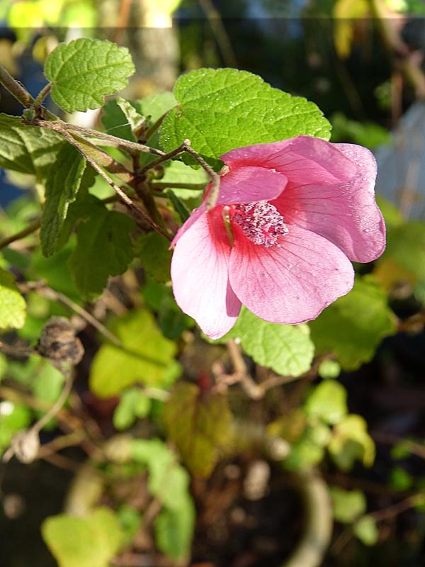 jardin des `MAL`AKHIM  - Page 5 Lysiane:visite_du_jardin:2015:p1170097
