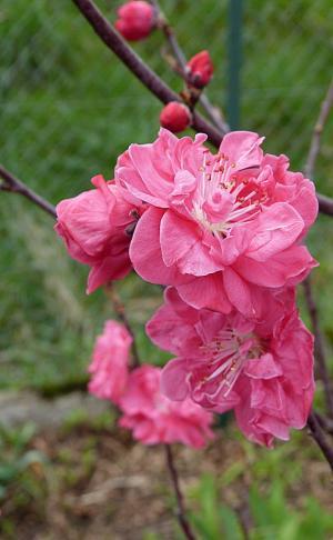 jardin des `MAL`AKHIM  - Page 5 Lysiane:visite_du_jardin:2015:p1170563