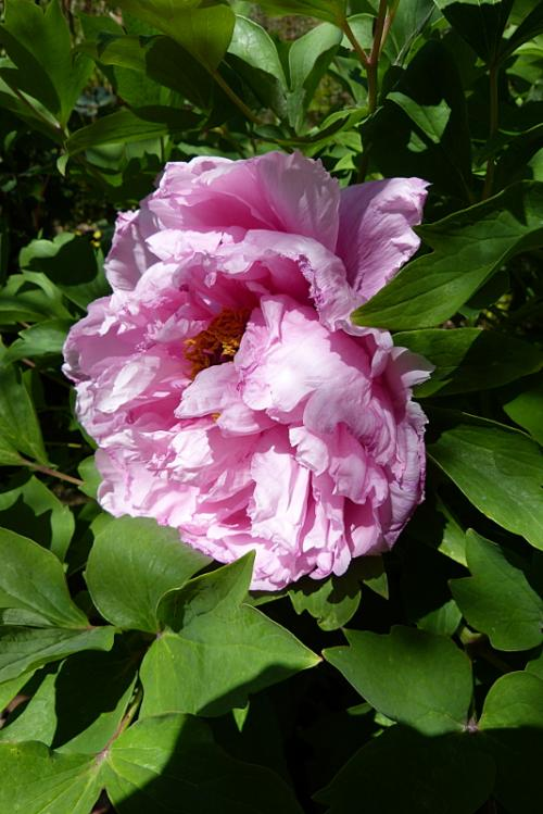jardin des `MAL`AKHIM  - Page 5 Lysiane:visite_du_jardin:2015:p1180003