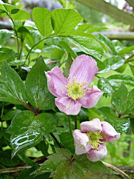 jardin des `MAL`AKHIM  - Page 6 Lysiane:visite_du_jardin:2015:p1180169