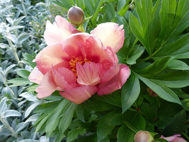 jardin des `MAL`AKHIM  - Page 6 Lysiane:visite_du_jardin:2015:p1180350