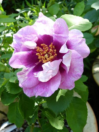 jardin des `MAL`AKHIM  - Page 6 Lysiane:visite_du_jardin:2015:p1180426