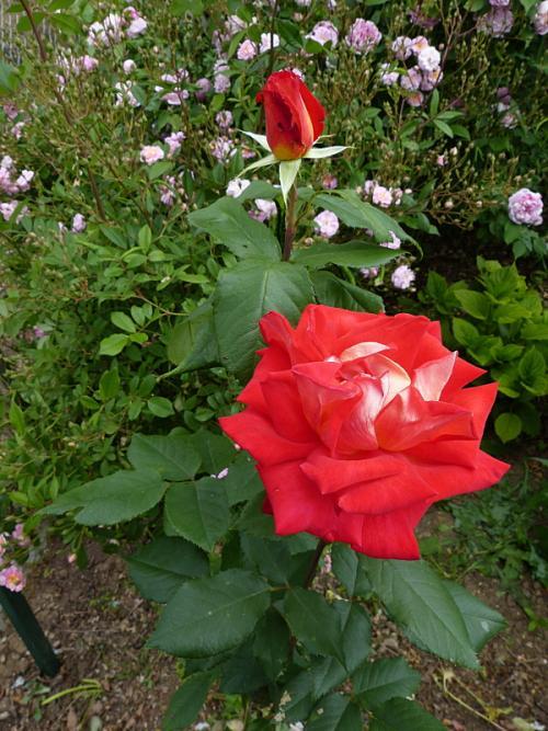 jardin des `MAL`AKHIM  - Page 6 Lysiane:visite_du_jardin:2015:p1180839
