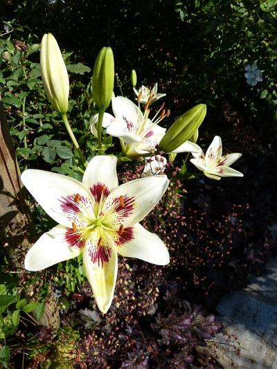 jardin des `MAL`AKHIM  - Page 6 Lysiane:visite_du_jardin:2015:p1190927