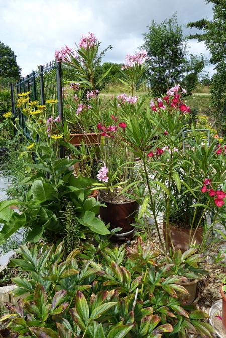 jardin des `MAL`AKHIM  - Page 6 Lysiane:visite_du_jardin:2015:p1200122