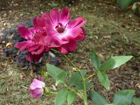 jardin des `MAL`AKHIM  - Page 6 Lysiane:visite_du_jardin:2015:p1200132