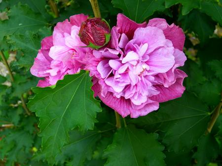 jardin des `MAL`AKHIM  - Page 6 Lysiane:visite_du_jardin:2015:p1200437