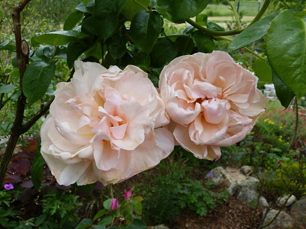 jardin des `MAL`AKHIM  - Page 7 Lysiane:visite_du_jardin:2016:p1220271