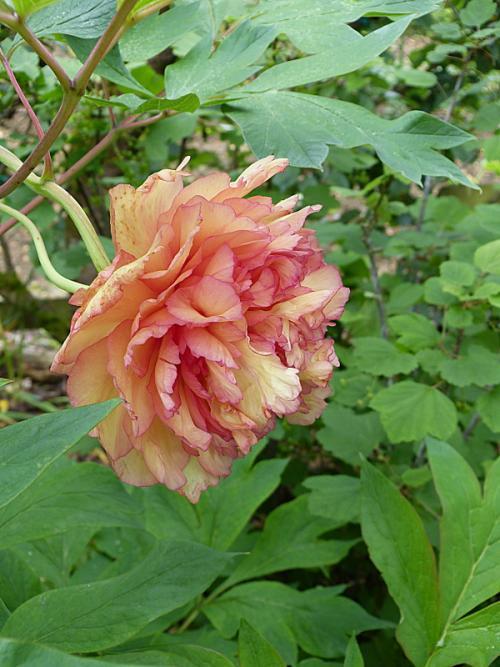 jardin des `MAL`AKHIM  - Page 7 Lysiane:visite_du_jardin:2016:p1220449