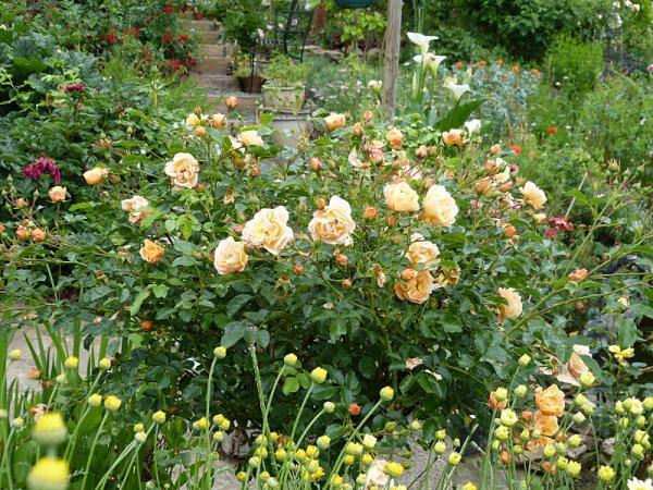 jardin des `MAL`AKHIM  - Page 7 Lysiane:visite_du_jardin:2016:p1220725